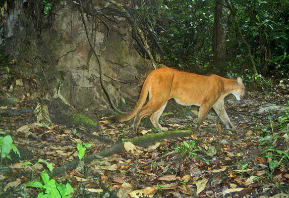 Puma caught on a camera trap