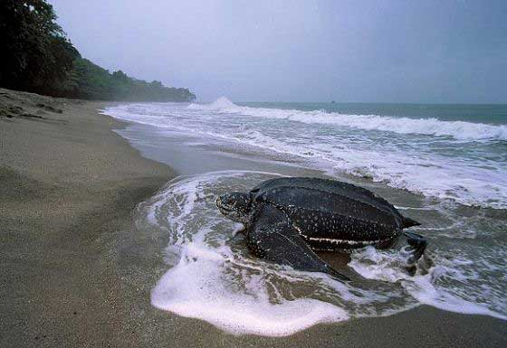 A leatherback arrives for nesting