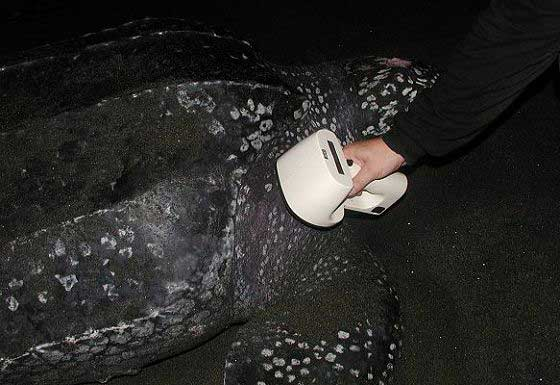 Scanning a leatherback for an electronic tag