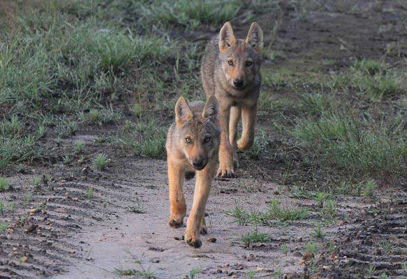 Wolf Conservation | Wildlife Volunteering in Germany