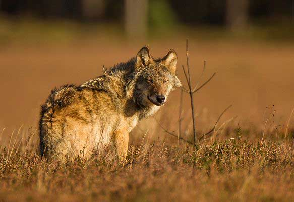 Wolf Conservation   Wildlife Volunteering in Germany