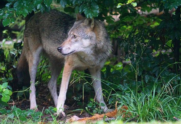 Carnivore Conservation | Volunteer with Wolves, Bears, Lynx, Bison