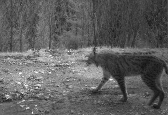 Lynx caught in a camera trap