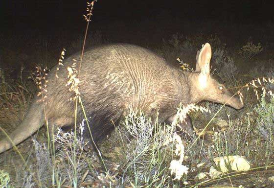 Aardvark caught in a camera trap (c) Blue Hill Nature Reserve