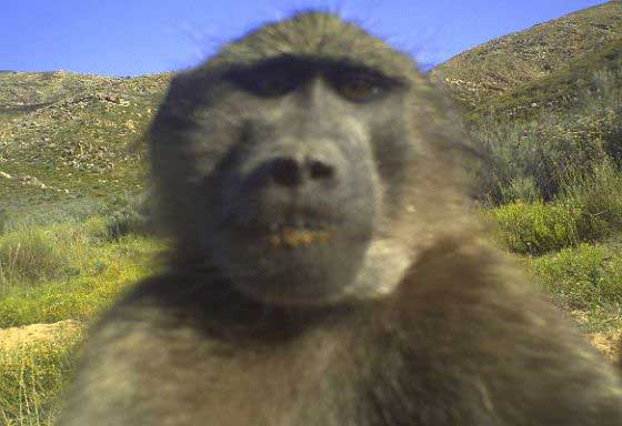 Baboon selfie by camera trap ;) (c) Blue Hill Nature Reserve