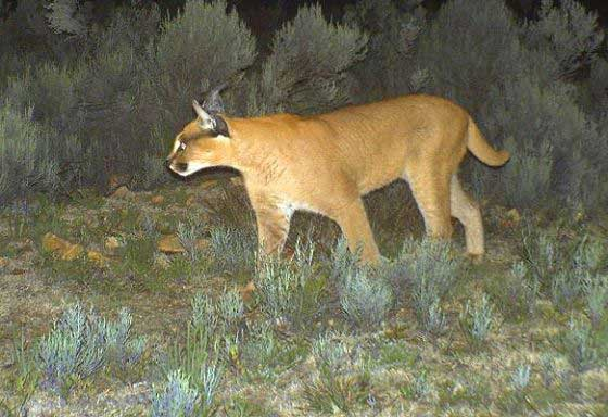 Caracal caught in a camera trap (c) Blue Hill Nature Reserve
