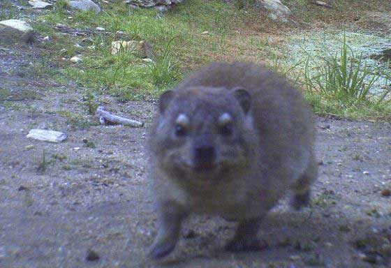 Hyrax caught in a camera trap (c) Blue Hill Nature Reserve