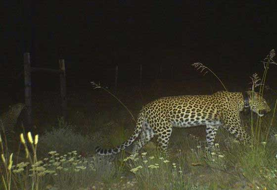 Cape leopard caught in a camera trap (c) Blue Hill Nature Reserve