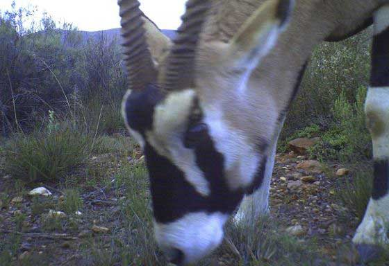 Oryx caught in a camera trap (c) Blue Hill Nature Reserve