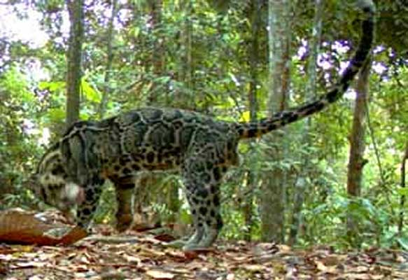Clouded leopard caught in a camera trap (c) WWF Indonesia