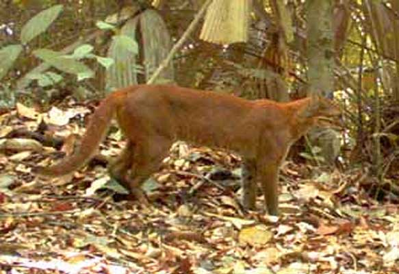 Golden cat caught in a camera trap (c) WWF Indonesia