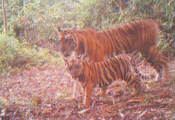 Tigress with cub caught on camera trap (c) WWF Indonesia