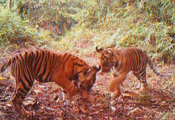 Tiger cubs caught on camera trap (c) WWF Indonesia