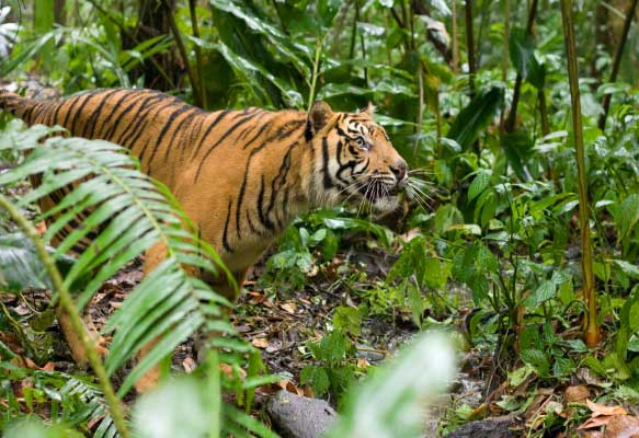 a research on the tigers Private lives of the world's largest catssmith's research has revealed aspects of  tigers' largely solitary lives that figure heavily in management.