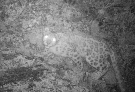 Snow leopard caught in a camera trap (c) NABU / Tolkunbek Asykulov