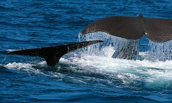 Sperm whale mother & cub