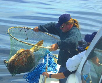 Capturing a loggerhead turtle