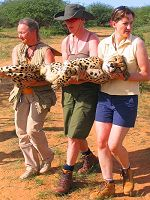 Carrying a sedated cheetah
