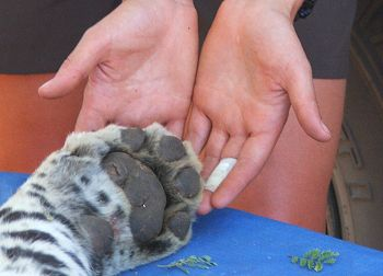 A sedated leopard's paw