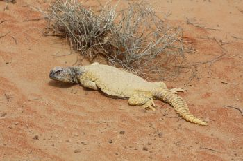 Leptien's spiny-tailed lizard