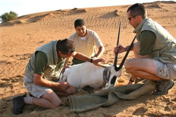 Collaring a sedated Arabian oryx