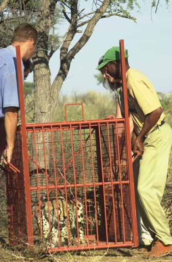 Transfering a cheetah in a box trap