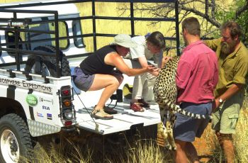 Transferring a sedated cheetah to the field lab for radio collaring