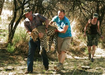 Carrying a sedated leopard to the field lab for radio collaring