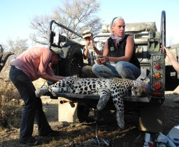 Field scientist Kristina Killian fitting a collar to a leopard
