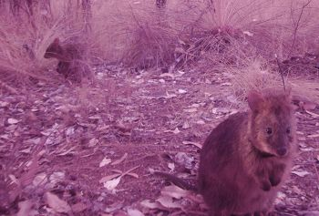 Quokkas caught by a camera trap.