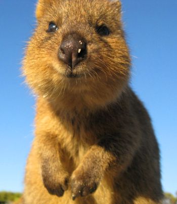 Quokka, a marsupial in the kangaroo family (Macropodidae) and primary study species.