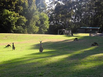 Kangaroos hanging out on the expedition base lawn.